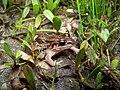 Leptodactylus fragilis.jpg