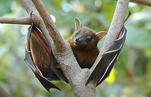 Lesser short-nosed fruit bat - Lesser short-nosed fruit bat moves to branch in daylight