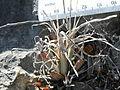 Leuchtenbergia principis (5703195699).jpg