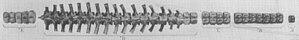 Leurospondylus - Dorsal view of the spine of Leurospondylus