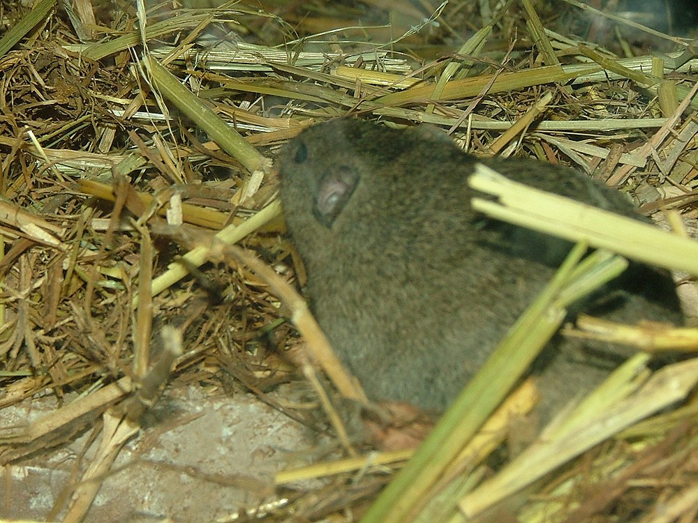 The average litter size of a Günther's vole is 6