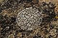 Lichen (43016292481).jpg