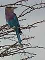 Lilac breasted roller in Tanzania 0641 cropped Nevit.jpg