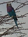 Lilac breasted roller in Tanzania 0642 cropped Nevit.jpg