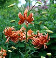Lilium lancifolium 'Flore Pleno' (Double Tiger Lily) flowers.jpg