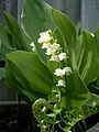 Lily of the valley (151269150).jpg