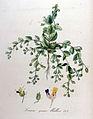 Linaria spuria — Flora Batava — Volume v9.jpg
