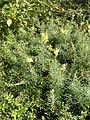 Linaria vulgaris 1924.jpg