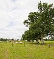 Line of oaks beside footpath , Turmer - geograph.org.uk - 1465332.jpg