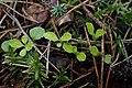 Linnaea borealis kz08.jpg