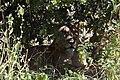 Lion, Ruaha National Park (12) (28406736404).jpg