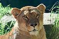Lion at Taronga Zoo. (6762970961).jpg