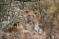 Lions at Pilanesberg Game Reserve, South Africa.jpg