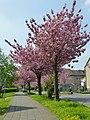 Lippstadt Kirschblüte P1010573 (8709892928).jpg