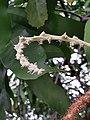 Lithocarpus hancei 硬殼柯 20200326195505 09.jpg