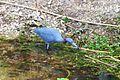 Little Blue Heron - Egretta caerulea (8503491179).jpg