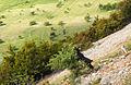 Livestock-(over-)grazing Peolonnes Greece Ziege.jpg