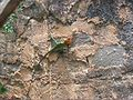 Lizard Kandy Sri Lanka.jpg