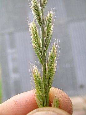 Lolium multiflorum spikelets1 (6919358915).jpg