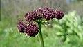 Lomatium dissectum var. dissectum flowering.jpg