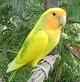 Lovebird -colour mutant-4a.jpg