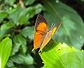 Loxura atymnus - Yamfly 27.JPG