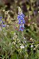 Lupinus sparsiflorus (1).jpg