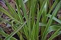 Luzula sylvatica in Jardin botanique de la Charme.jpg
