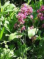 Lychnis viscaria01.jpg
