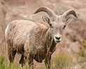 MK00658 Badlands Bighorn Sheep.jpg