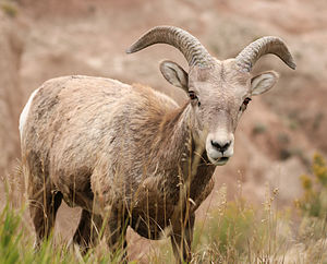 Badlands National Park - Image: MK00658 Badlands Bighorn Sheep