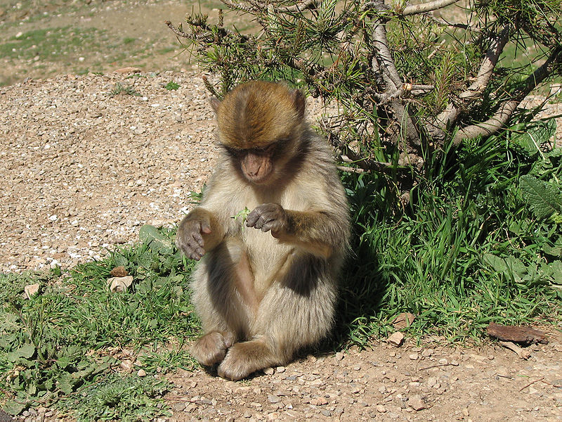 Le MACAQUE  800px-Macaca_sylvanus_on_the_way_to_Azrou