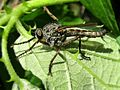 Machimus atricapillus (Asilidae sp.) male, Gennep, the Netherlands - 2.jpg