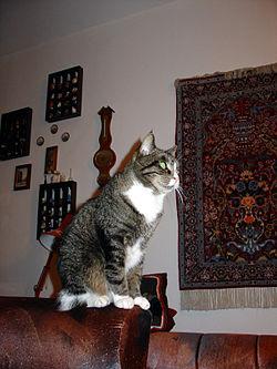 kočka chovaná v městském bytě