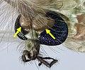 Macro portrait of Chironomidae mosquito (cropped).jpg