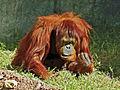 Mad orangutan.jpg