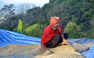 Akha people - Packing dried arabica coffee beans in Thailand