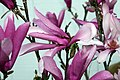 Magnolia Ann 3zz.jpg