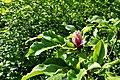 Magnolia liliiflora Purple Magnolia მეწამული მაგნოლია (2).JPG