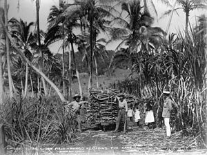 Mago Island - View of men loading sugar cane in the fields of Mago in 1884.