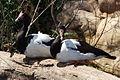 Magpie Geese pair.jpg