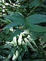 Maianthemum stellatum SCA-0240.jpg