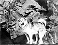 Malamute dog standing beside Benjamin S Downing, possibly Circle City, ca 1899 (WARNER 481).jpeg