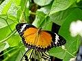 Malaysia - Penang Butterfly Gardens - 30 (5208966696).jpg