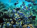 Maldives Surgeonfish, Acanthurus leucosternon.jpg