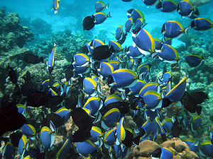 Shoaling and schooling - These surgeonfish are shoaling. They are swimming somewhat independently, but in such a way that they stay connected, forming a social group.