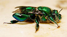 Male Euglossa sp.jpg