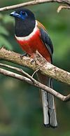 Male Malabar Trogon (crop).jpg