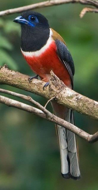 Malabar trogon - Male H. f. malabaricus