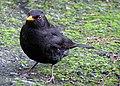 Male blackbird.jpg